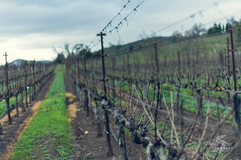 More empty Vineyards at  Darioush