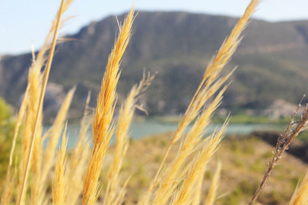 Natural sparto grass plant in the mountains of Murcia. Photo by Sergi Vich