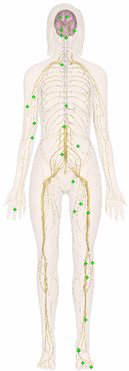 A pictorial of the autonomic nervous system showing both the sympathetic and parasympathetic nervous systems.