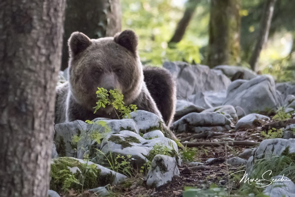 Photographing Wild Bears in Slovenia