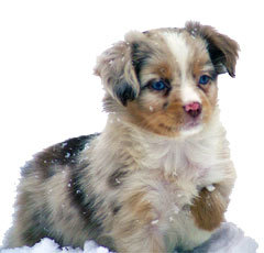 Little Red Merle Male Mini Aussie puppies.