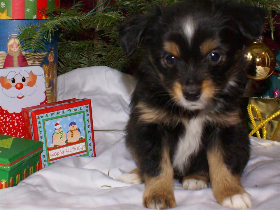 Miniature Australian Shepherd Puppy Female