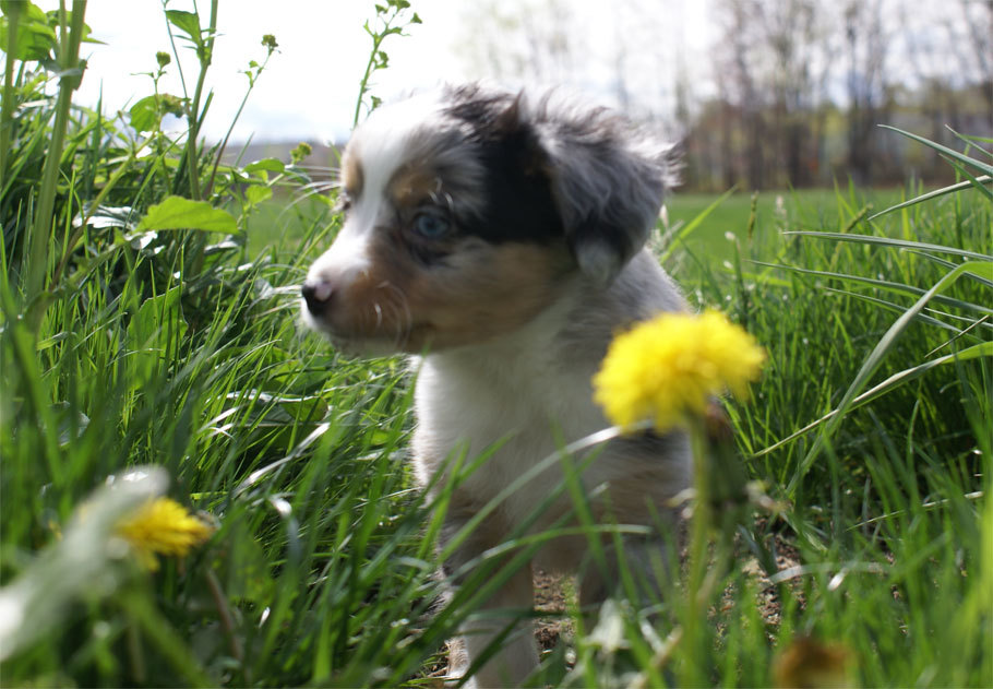 Mini Aussie Puppy Male