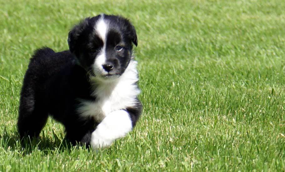 Miniature Australian Shepherd Black Bi Male Puppy