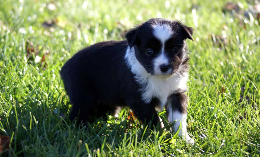 Mini Aussie Puppy Black Female