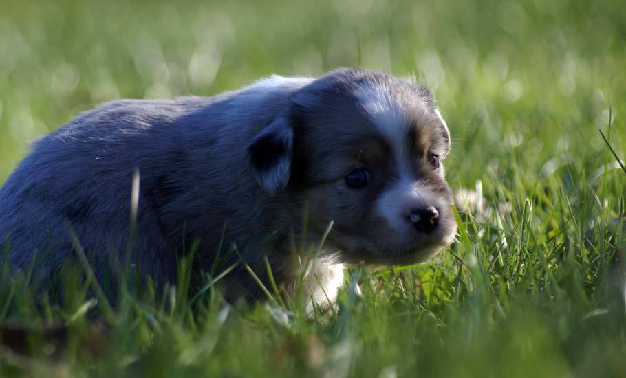 Mini Aussie Puppy Female @ 4 Weeks