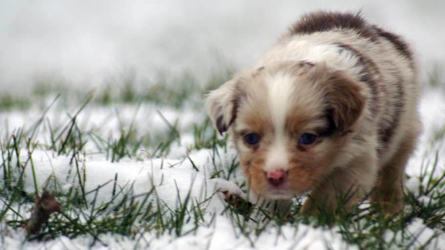 Miniature Australian Shepherd Puppy Male
