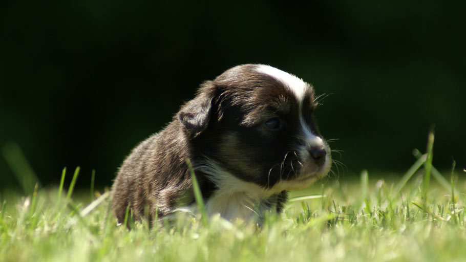 Miniature Australian Shepherd Puppy (Mini Aussie)