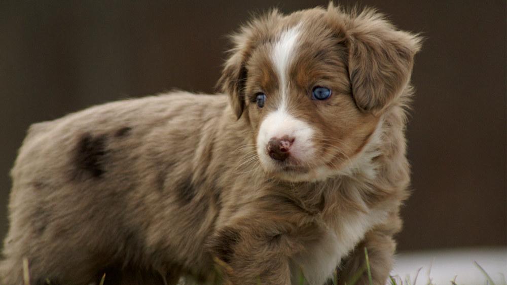 December 2012 new miniature australian shepherd puppies