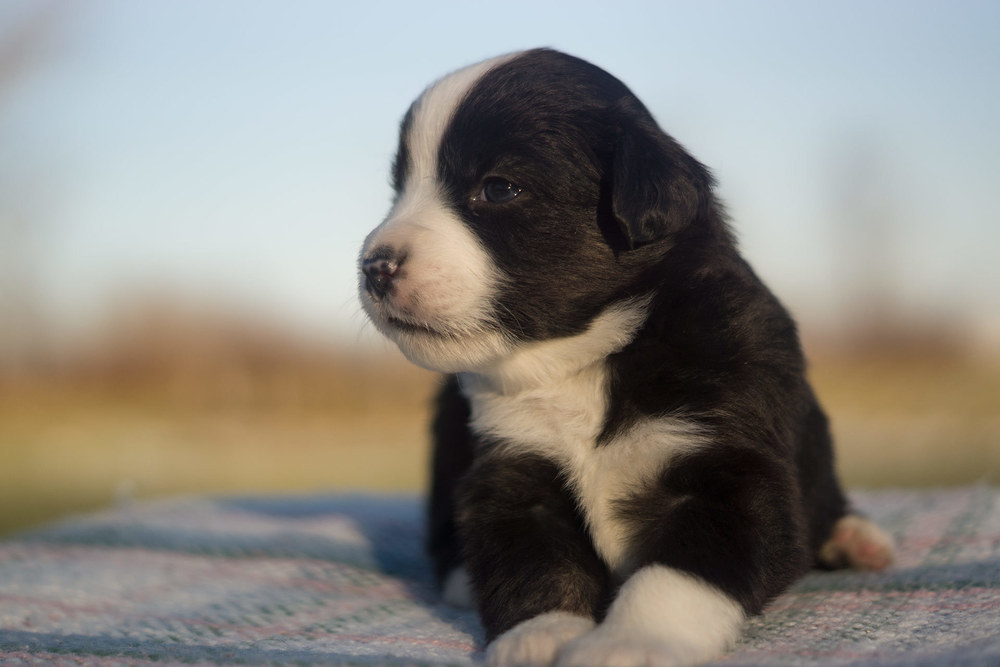 Miniature Australian Shepherd Puppy Male Black Tri