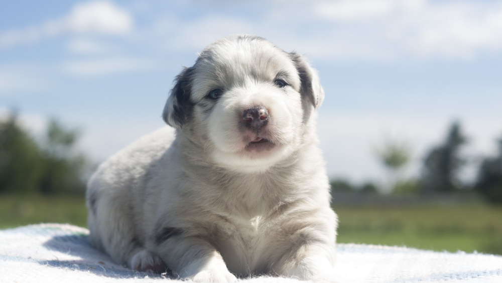 M2a-14-08-Mini-Aussie-Puppy-Blue-Merle.jpg
