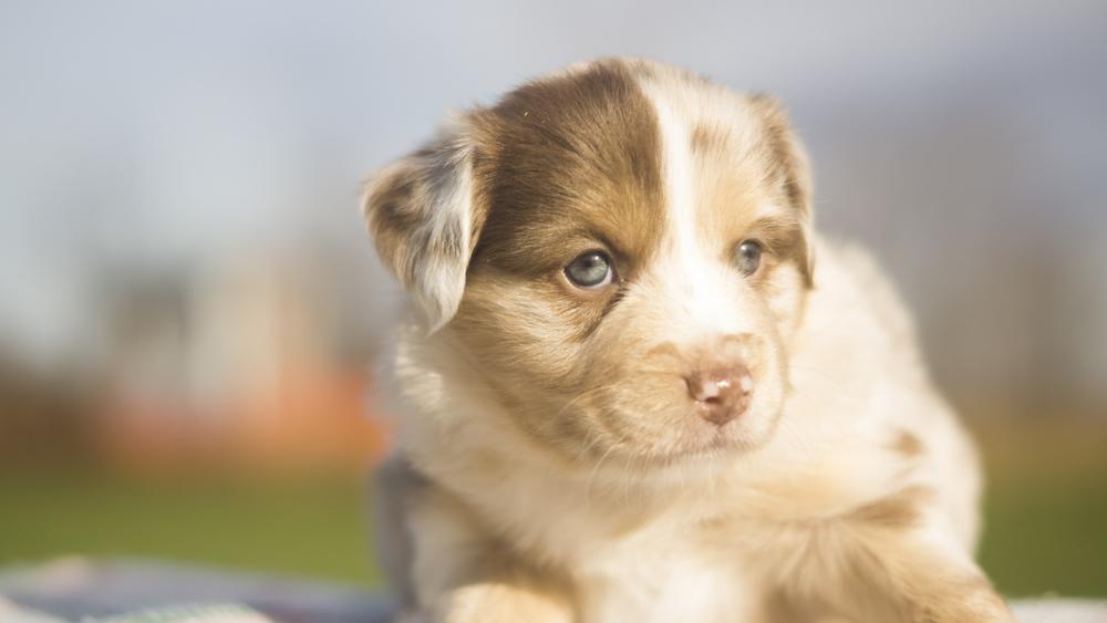 Miniature Australian Shepherd Puppy from Breezemore's Maine Mini Aussies!
