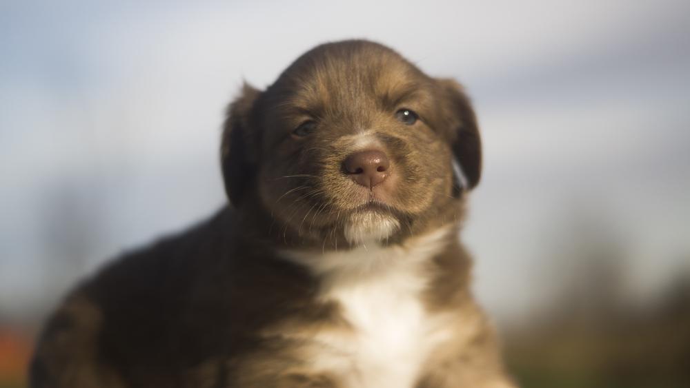 Miniature Australian Shepherd Puppy at 3 Weeks Old