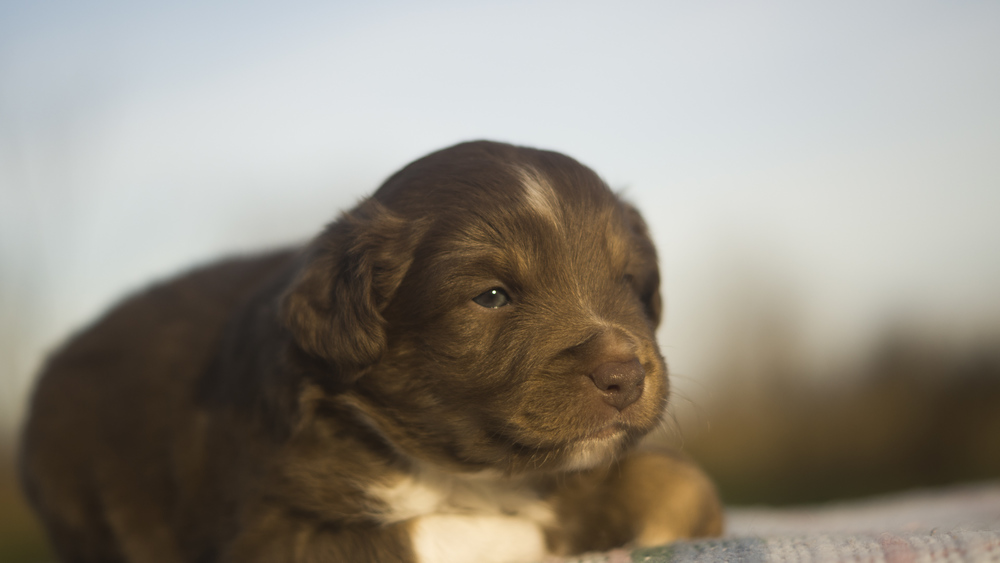 Miniature Australian Shepherd Puppy at 3 Weeks Old