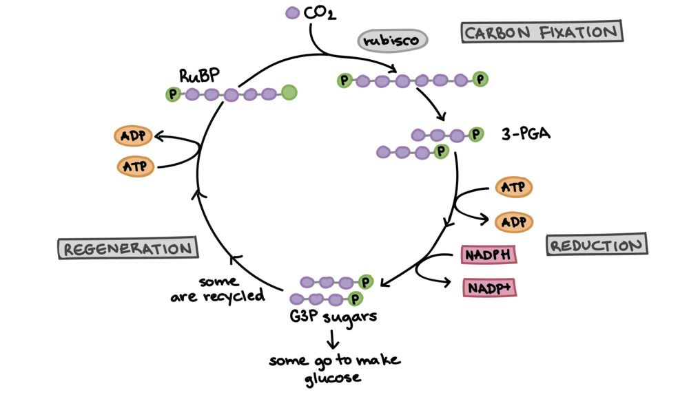 Calvin Cycle picture from Khan Academy  LINK