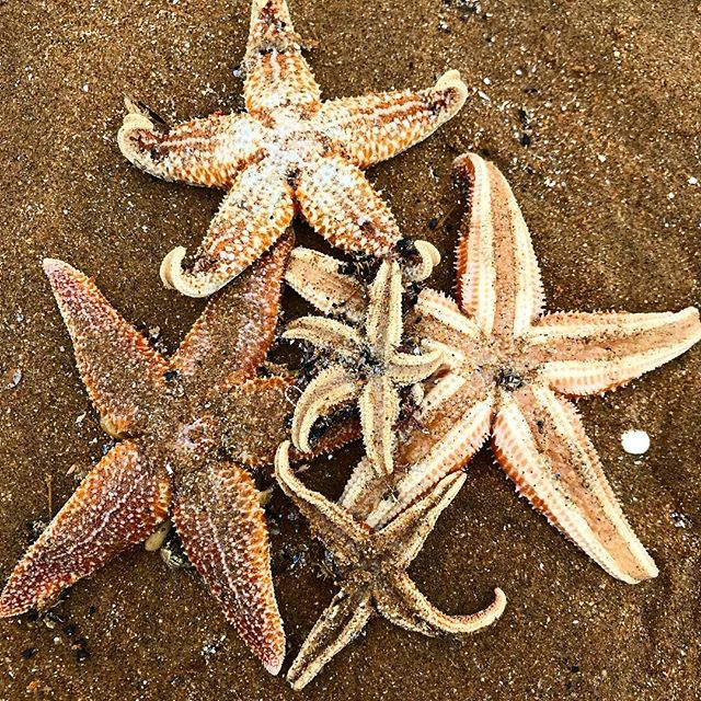 Around 1000 of these got washed up on the beach yesterday. The beach is littered with starfish. #starfish #broadstairs #sea