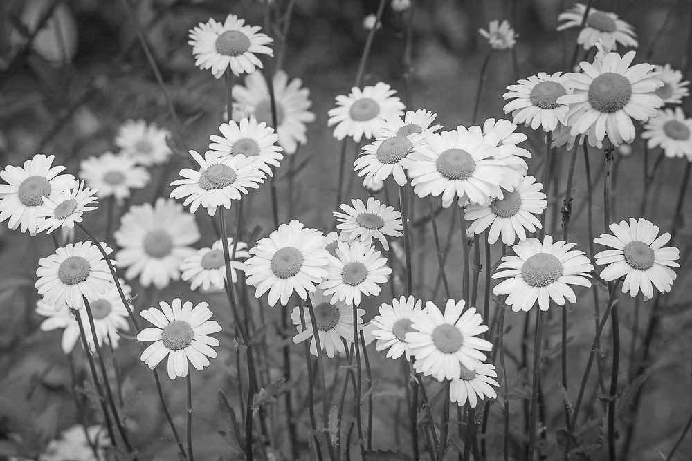feldenkrais-daisies.jpg