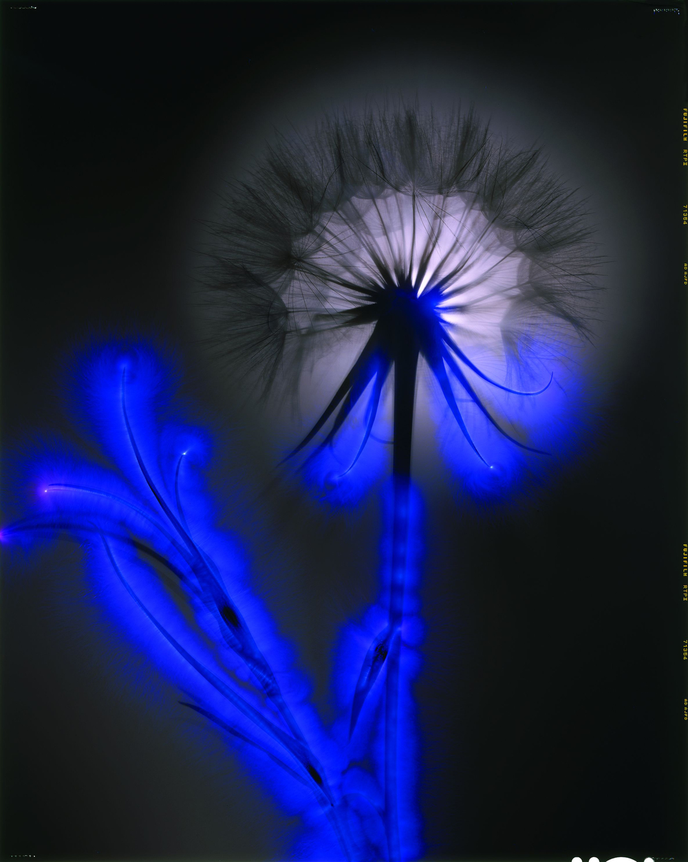 Robert Buelteman  Salsify  Chromogenic Development Print