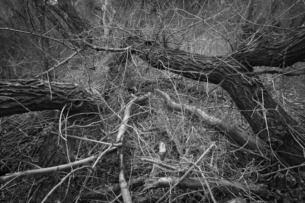 Andrew Beckham  Newly Fallen Cottonwood