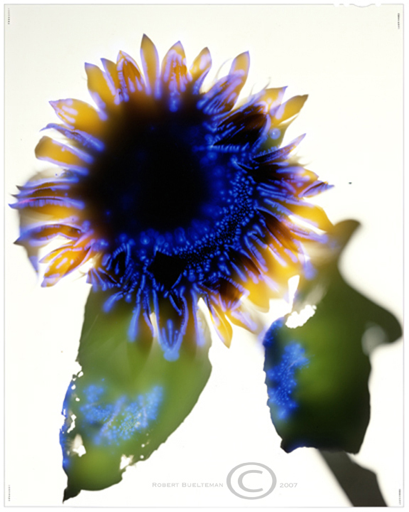 "Robert Buelteman  ""Helianthus X Hybrid""  Chromogenic Development Print 11/25  25x30.5"