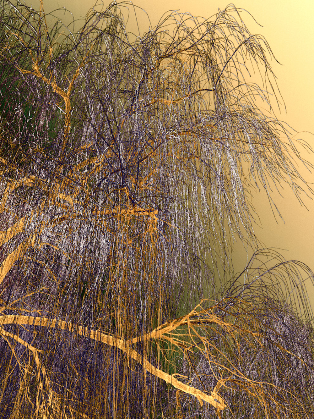 Golden Willow