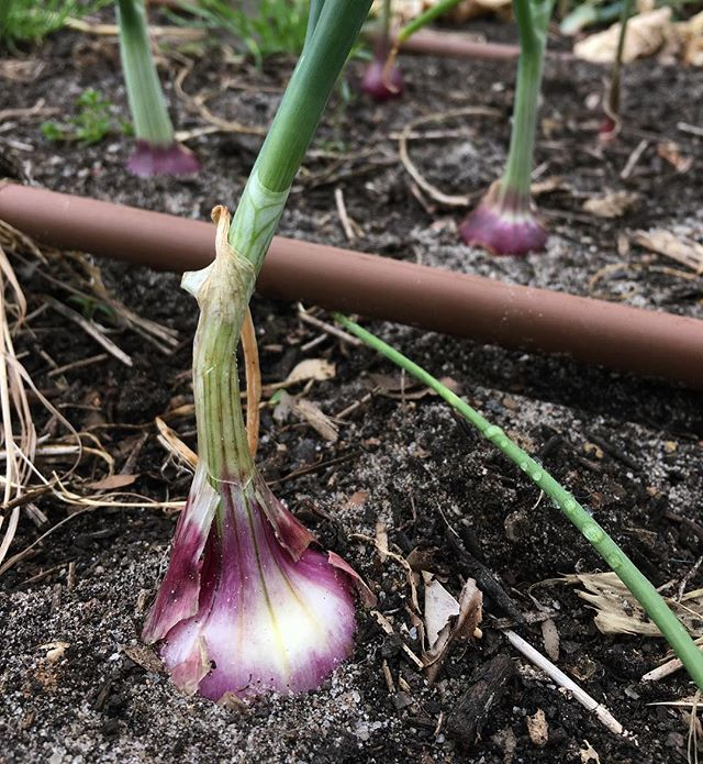 Currently growing #inthepatch - red onions for pickling... plus the leaves are delicious! • #organic #homegarden #ediblegarden #growfoodnotlawns #redonion