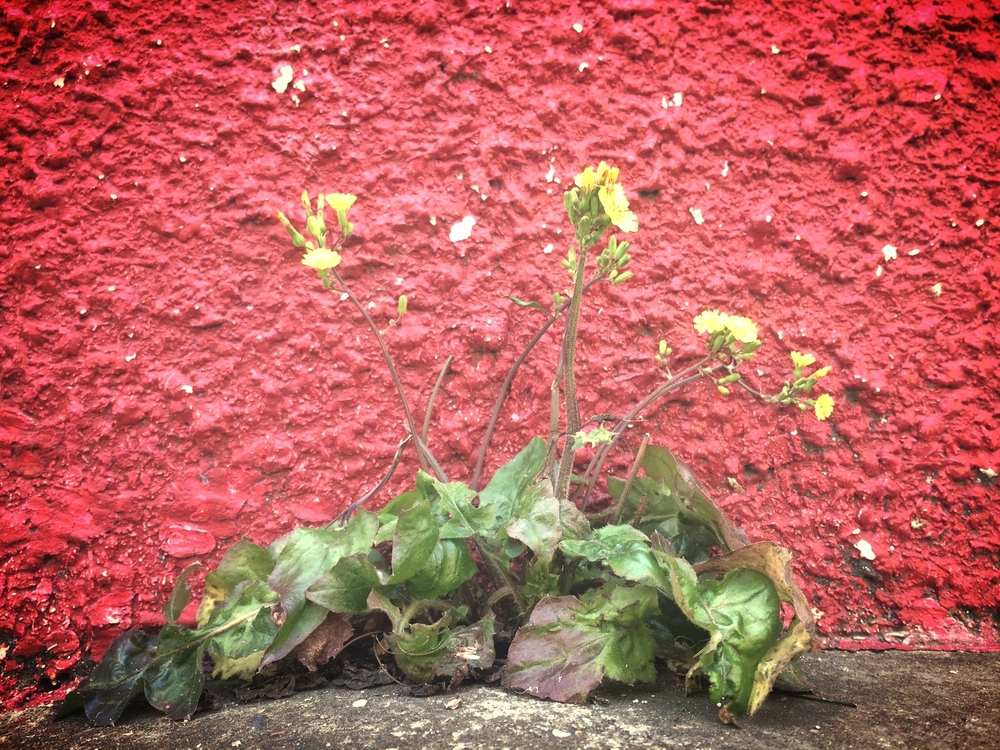 Yellow Flowers, Green Leaves, Red Wall