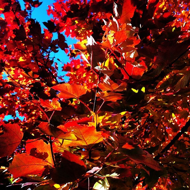 My first fall picture #leaves #foliage #fall #nature #color #boston #inspired #sky