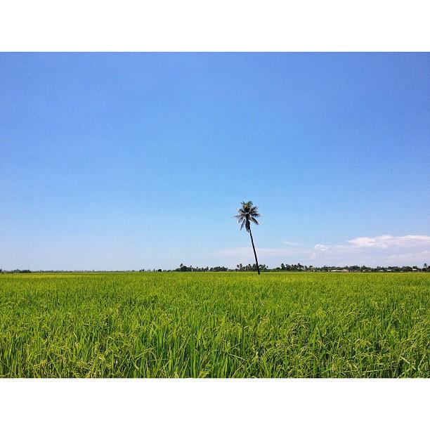 #landscape #haiti #rice #field #InstaSize (at L'estere-Haiti)
