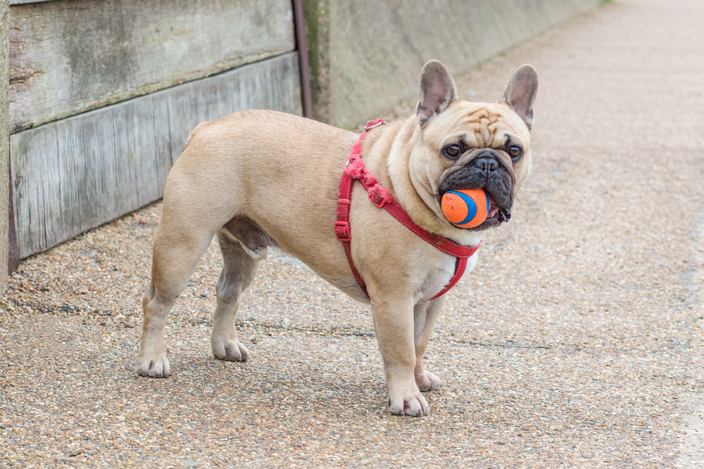 Brachycephalic breeds can benefit from being walked on a back clip harness.