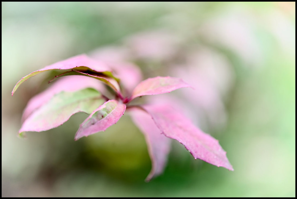 Variegated leaves.