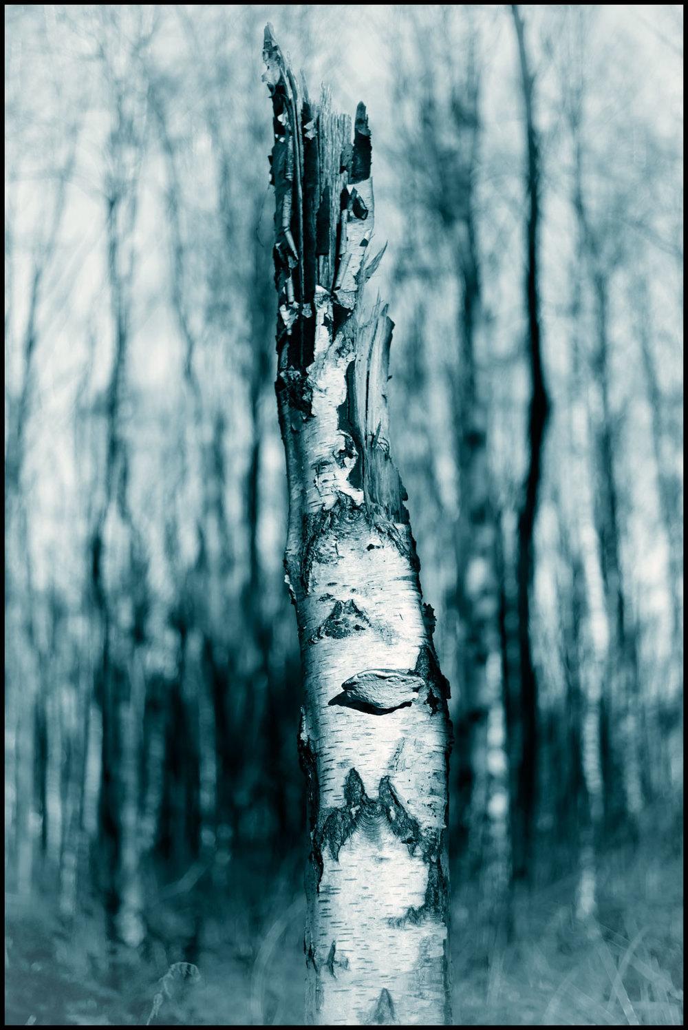Weather damaged silver birch.