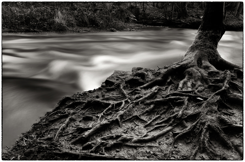 River Alyn, tree roots and fast moving water.