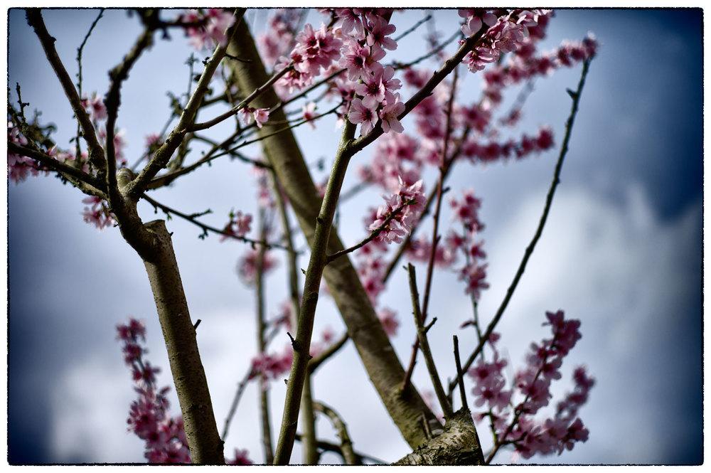 Spring blossom, Erddig.