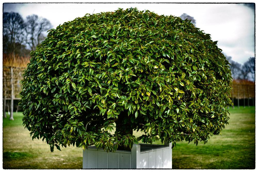 Ornamental shrub, Erddig.