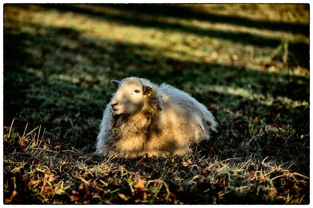 Resting sheep.