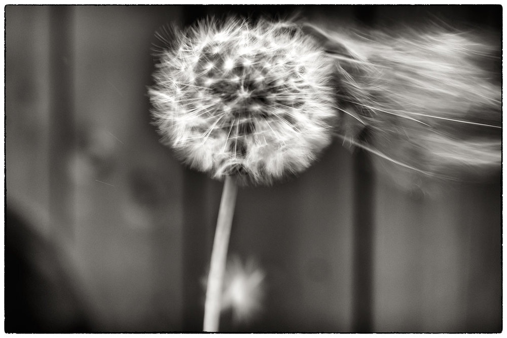 The time of year when the dandelions are ready to blow. We couldn't resist them as kids.