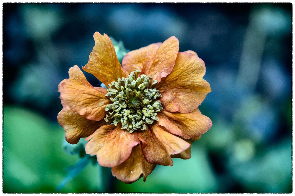 Flower, Lomo style.