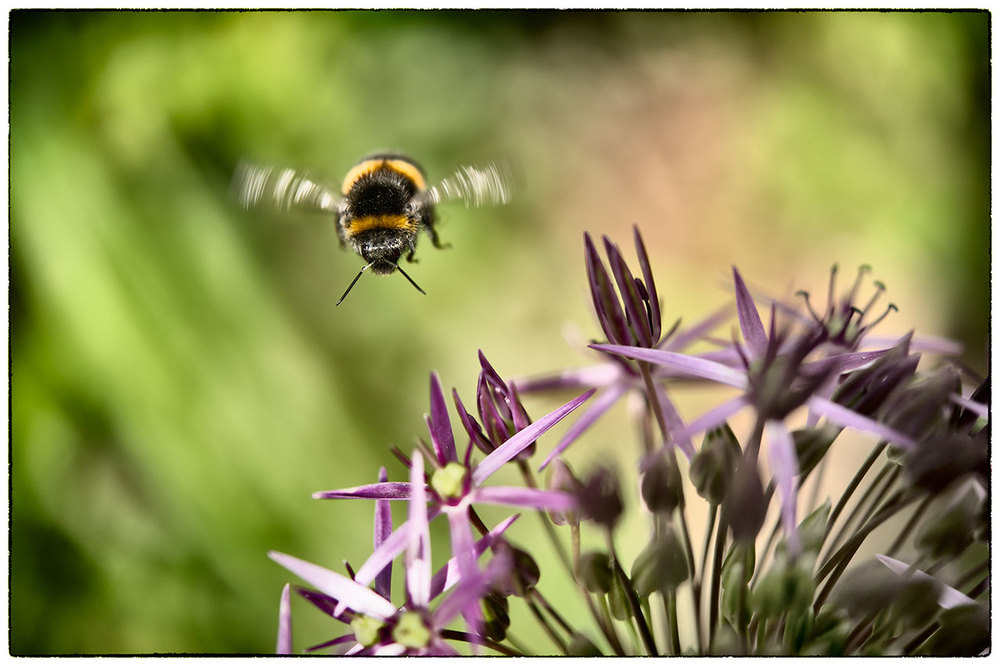 The bees have been busy in the garden today. Too busy to take any notice of me getting as close as I like.