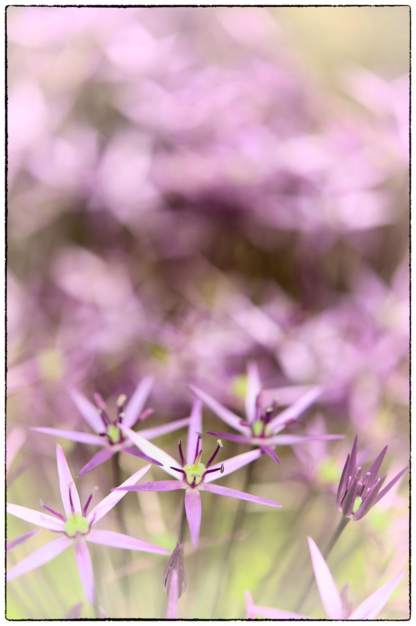 More beautiful Allium.