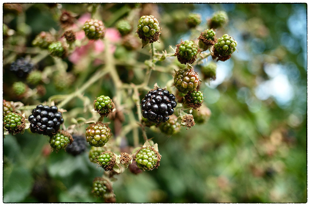 The blackberries are coming out!