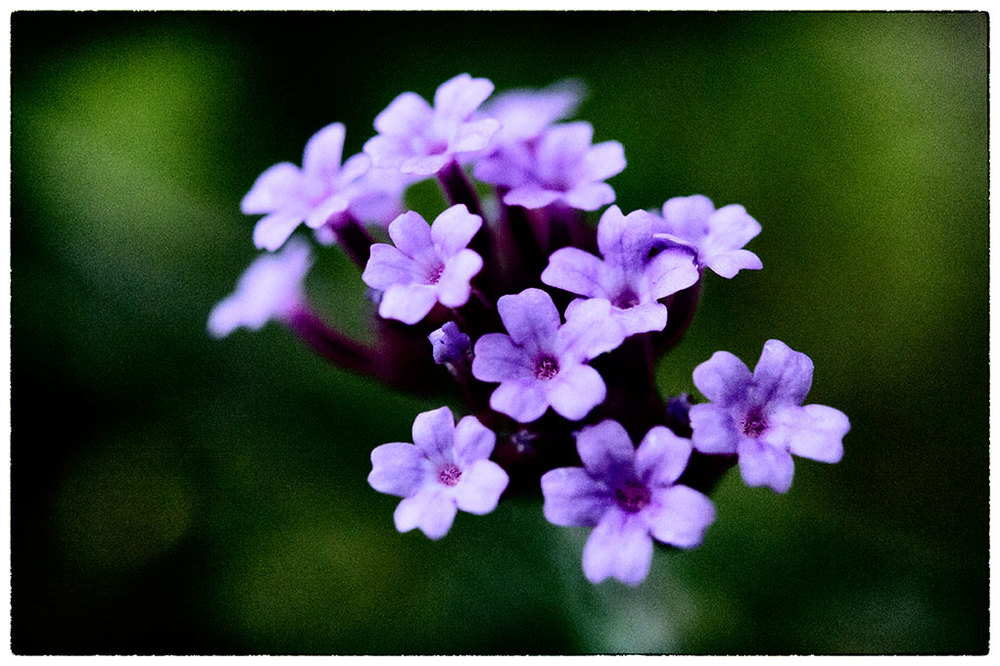 The Verbena are still in flower, these tiny little flowers seem so robust.  This bunch is only 3cm across.