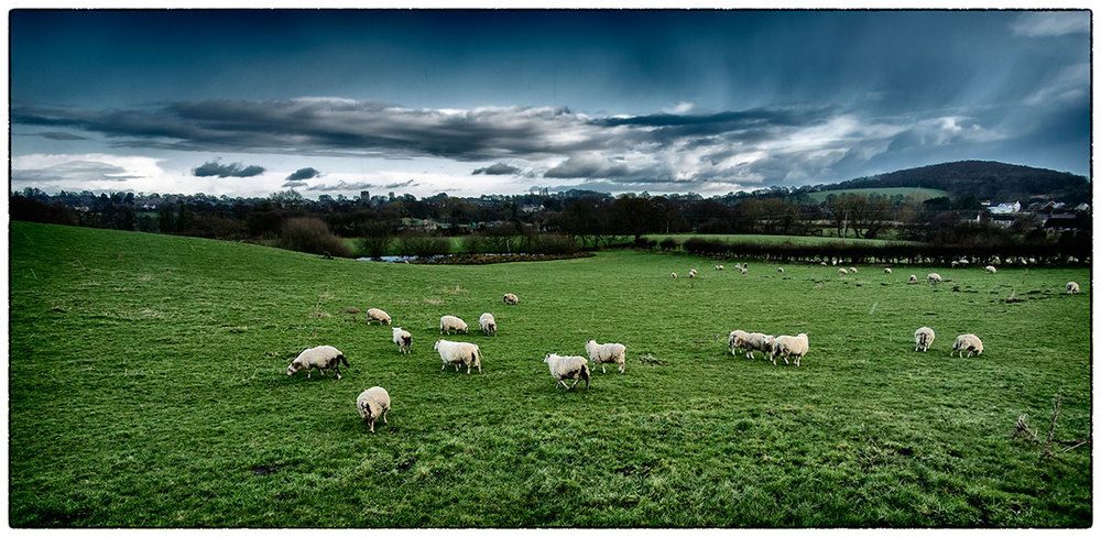 Sheep in Caergwrle this morning and just starting to rain.