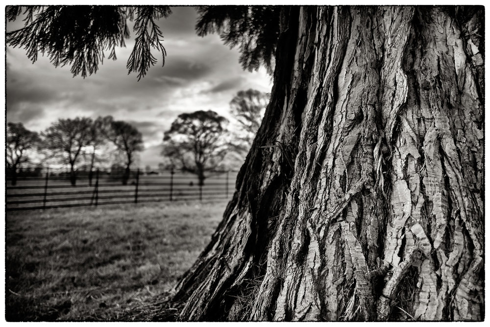 Beautiful old trees this afternoon at Erddig .