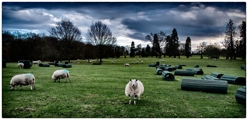 Sheep with attitude, staring the camera down. Erddig .