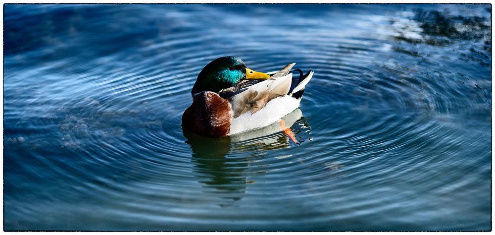 Duck in ripples, Erddig.
