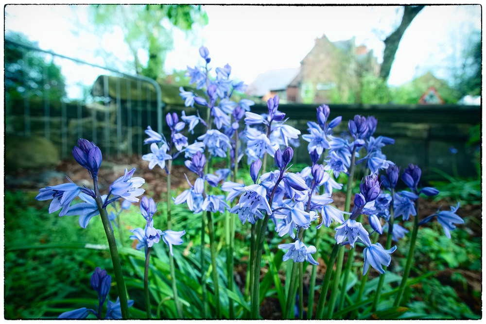 They're purply blue and bell shaped but I'm reticent to say 'bluebells' as I'm usually wrong!