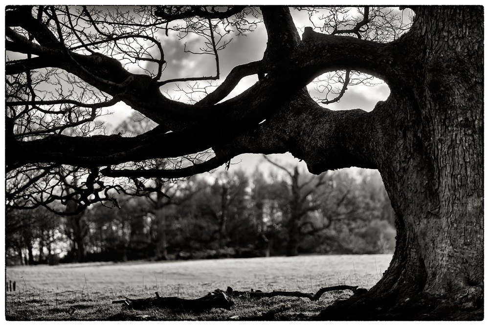Tree silhouette, Chirk Castle grounds.