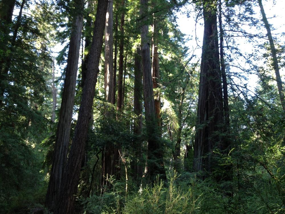 Trees California
