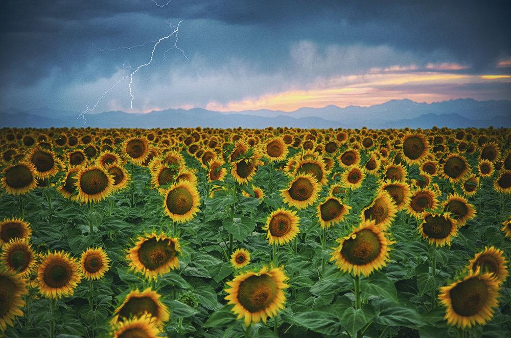 sunflower-lightning.jpg